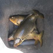 carp caught