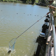 pulling carp out of the water