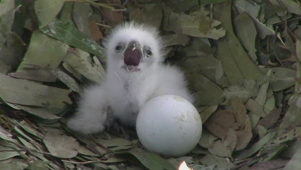Eaglet on nest next to egg