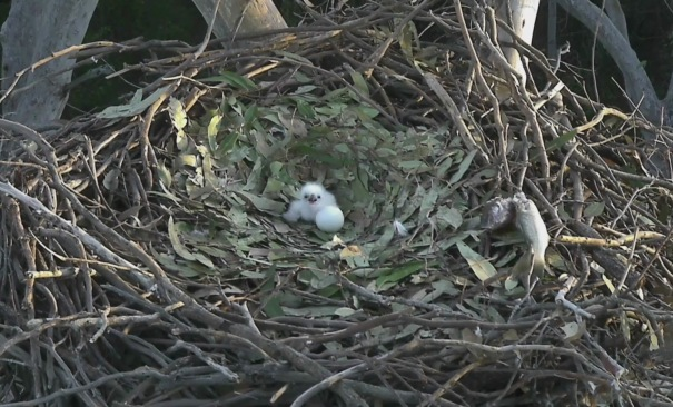 Wide shot of sea-eaglet on the nest with egg