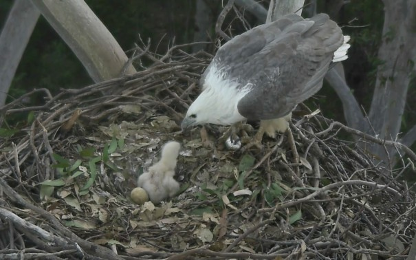 Female Sea-Eagle feeds eaglet