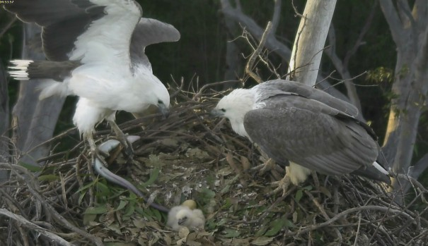 Male Sea Eagle brings eel to nest
