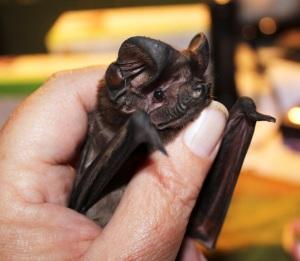 White-striped Freetailed Bat