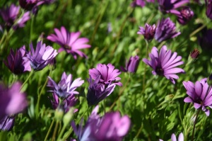 Daisys in Heritage Garden
