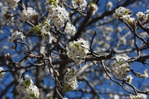 Manchurian Pear Tree in the Yulang