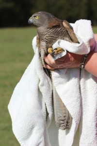 Injured bird being held