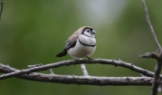 Double-barred finch, photo by Nevil Lazarus