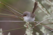 erb Fair-wren, photo by Alistair McKeogh