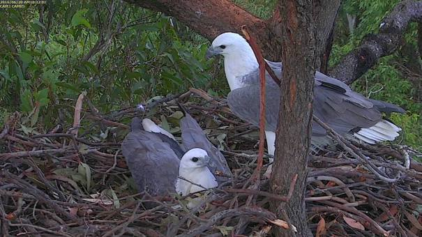 Sea-Eagles on nest