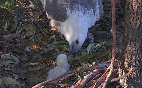 Sea-eagle feeding eaglet in nest