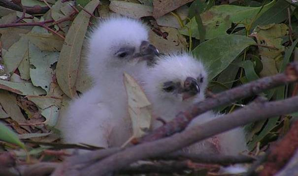 Sea-Eagle chicks hatched