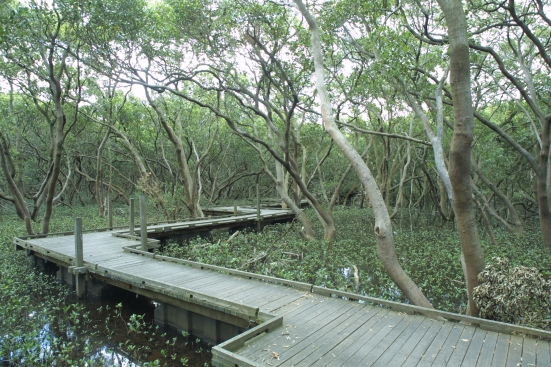boardwalk through Badu Mangroves in Bicentennial Park