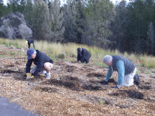 Sydney Olympic Park Authority staff planting native grasses