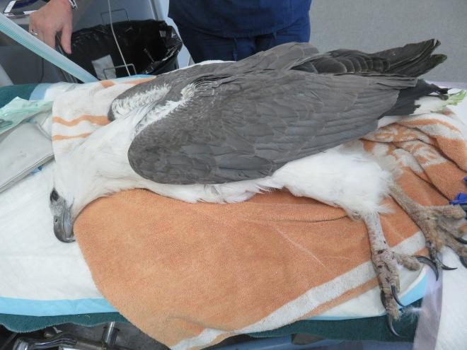 intruder eagle.JPG
