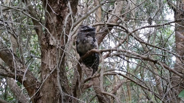 Tawny young returned to tree_WC_20161128_2.jpg